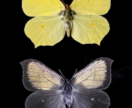 Brimstone butterfly vis and UV