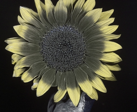 sunflower UV