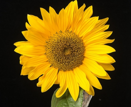 sunflower visible